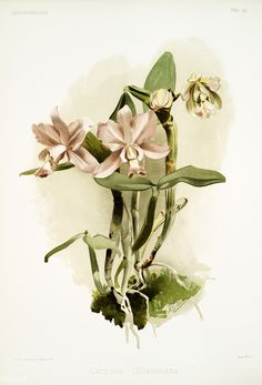 Download free images about Cattleya o'brieniana from Reichenbachia Orchids (1888-1894) illustrated by Frederick Sander (1847-1920). | rawpixel: free images, vectors, mock-ups.