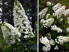 Hydrangea quercifolia Snowflake ; Gardenista