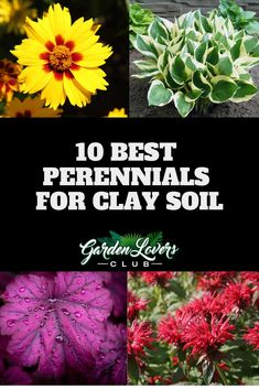 10 Best Perennials for Clay Soil - Garden Lovers Club flowers 10 Best Perennials for Clay Soil Planting In Clay, Clay Soil, Shade Plants, Best Perennials, Garden Lovers, Clay Soil Plants, Garden Lovers Club, Perennials, Plants