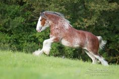 Clydesdale mare 2S Barnaby's Illustrious Belle