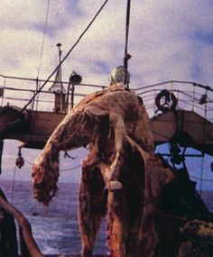 This carcass was found by Japanese fishermen in 1977 near New Zealand. It is believed by many to be the carcass of a plesiosaur, which evolutionists claim became extinct some 65 million years ago. Some scientists claim that this was merely the remains of a basking shark.  If the Earth is young as the Bible says, and this animal being a water creature was not destroyed by the great flood, then why would it be impossible to find the remains of a recently deceased plesiosaur.
