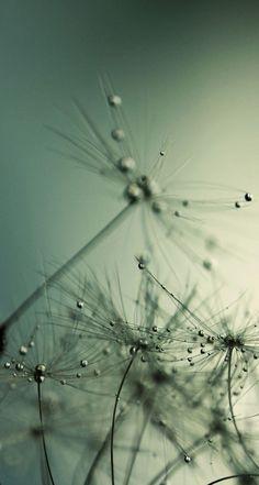 Drops on Dandelion