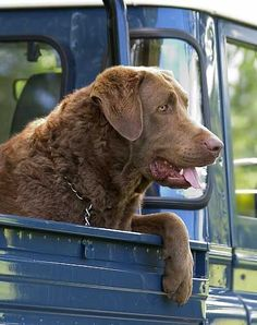 A stunning Chesapeake Bay Retriever... in a Blue Pick up. Cant get any more Americana than this :)