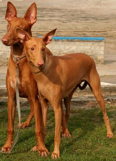 dogs dogger: Pharaoh Hound Dog Description, History and Temperament Pharaoh Hound Puppies, Hound Dog Breeds, Puppy Pictures, Dog Photos, I Love Dogs, Cute Dogs, Most Expensive Dog, Purebred Dogs, Wild Dogs