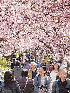 Spread the loveLa primaverahallegado temprano a este pueblo del este de Japón deKawazu. El pequeño pueblo ubicado justo en las afueras de Tokio es famoso por sus 8 mil cerezos en flor que florecen temprano cada año. Lospaisajes exuberantes que reciben a millones de turistas cada febrero sonabsolutamente románticos. Las flores, conocidas como sakuras en …