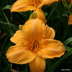 Gigantic blooms are a rich apricot color that our garden customers can't resist.