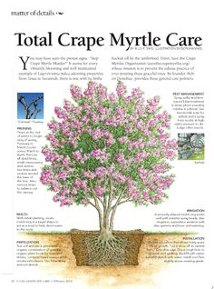 "Total Crêpe Myrtle Care -- Savannah GA Landscaping Tips > For Jenny's new tree,  [Holy Crape! I just realised that this infographic spells ""crepe"" as CRAPE. WTH?]"