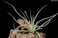 Tillandsia caliginosa/ティランジア・カリギノーサ | ABC | SPECIES NURSERY Photo