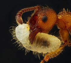Geir Drange  This is an ant carrying one of its larvae. Ants are amazing.