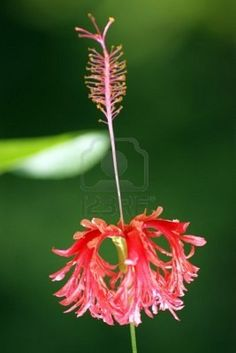 Exotic flowers of Borneo Stock Photo Unusual Flowers, Rare Flowers, Beautiful Flowers, Hibiscus Schizopetalus, Tomato Seedlings, Different Types Of Flowers, Petal Pushers, Unique Plants, Passion Flower