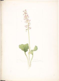 Pyrola bracteata (1912), by Margaret Armstrong (1867-1944), painted for Field book of western wild flowers (1915).