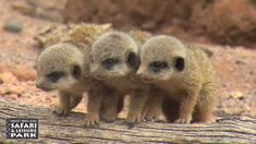 Baby Meerkats at West Midland Safari Park