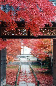 Japan, RED MARPLE LEAVES IN A SHRINE
