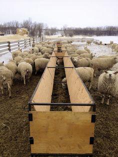 Home-made feed bunks are filled daily Cow Feeder, Sheep Feeders, Livestock Farming, Goat Farming, Sheep Shelter, Sheep House, Feeding Goats, Raising Farm Animals, Goat House
