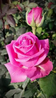 🌹🌹 Pink Rose 🌹🌹 - My site Beautiful Rose Flowers, Amazing Flowers, My Flower, Beautiful Flowers, Pink Roses, Pink Flowers, Rose Bush, Morning Flowers, Flower Wallpaper