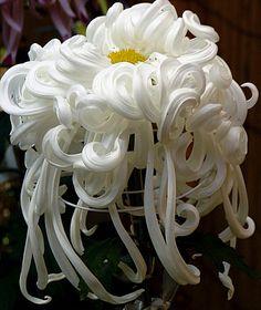 Le Chrysanthème : Fleur d'Or et roi de l'automne - LES PYRENEES : Ma belle région montagneuse.