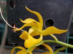 "Mormodes badia ""Yellow Strain"" by ianeklim, via Flickr"