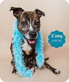 URGENT! Kenny is a special needs American Pit Bull Terrier Mix. He is a senior whose back legs do not work at times. He has a cart for walks, to help support the weight of his body. He would benefit greatly from lots of live, and some laser and/or hydro therapy sessions. If you know of a rescue or foster group that could help Kenny, please pass this on! Wyandotte, MI