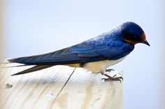 Barn swallow, by Charles Sloger