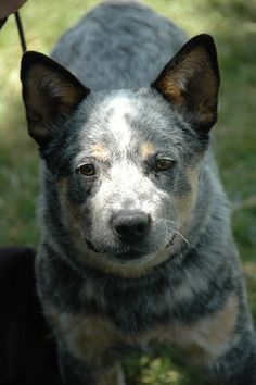 austrailian cattle dog little blue male