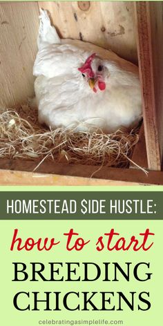 Perfect HOMESTEAD SIDE HUSTLE! It's easy to start hatching and selling chicks - great tips for getting started! #homesteadsidehustle