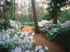 Stunning Azalea bushes at Bayou Bend Estate in River Oaks Houston,home of Ms. Ima Hogg  f0d86099c008b7342461e7bfa984caf3.jpg (796×600)