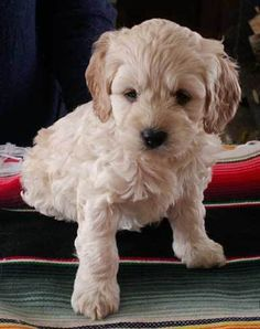 Cockapoo puppy - looks just like our Fiona!