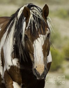 """equine-hourglass:    """"Picasso Comes Close"""" by Carol Walker  .    A stallion from Sand Wash Basin Mustang Preserve."""