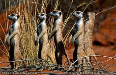 #Suricates (South Africa side) ( #Kgalagadi Transfrontier Park, #SouthAfrica) - South Africa travel guide: http://www.safaribookings.com/south-africa