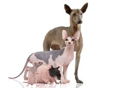 Naked photoshoot ... a hairless rat, guinea pig, Sphinx cat and Mexican dog pose for the camera