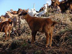 Cabra galega
