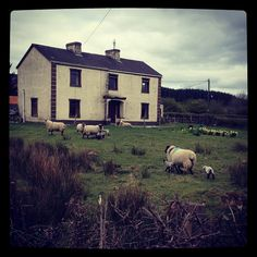 Spring in Sligo. An abandoned house only used for sheep now.