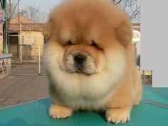 Cute Chow Chow puppy!