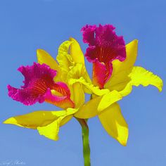 Cattleya orchid – Large brightly coloured orchids, usually 1 or 2 per stem