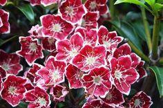 Kalmia latifolia f. myrtifolia/fuscata 'Starbust'