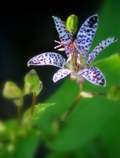 Tricitrus Toadlily Flower by Nate A, via 500px   first pinned by copyright holder @Nathan Santos A.