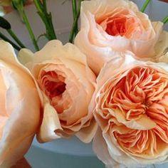 Hoa Hồng Ngoại – Hoa đẹp Việt Nam – Thế giới hoa, cây cảnh nghệ thuật của người Việt