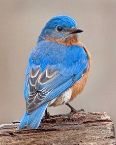 S~Bluebird.Genus: Sialia - Swainson, 1827 by Jack Nevitt Cute Birds, Pretty Birds, Beautiful Birds, Animals Beautiful, Cute Animals, Pretty Animals, Beautiful Pictures, Exotic Birds, Colorful Birds