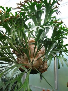 Staghorn Fern looks similar to the one I have. Colorful Plants, Cool Plants, Tropical Plants, Air Plants, Garden Plants, Indoor Plants, Beautiful Gardens, Beautiful Flowers, Platycerium