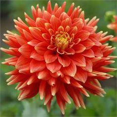 "Steven David Dahlia (5"" bloom; 4 1/2' bush): dark orange petals tipped in yellow."