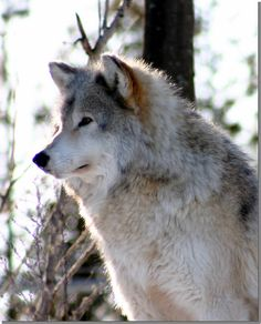 Loup 🐺🐺🐺, See the Best animal pictures from AnyCanal , These are the b. Wolf Images, Wolf Photos, Wolf Pictures, Animal Pictures, Cute Funny Animals, Cute Baby Animals, Animals And Pets, Beautiful Wolves, Animals Beautiful