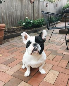 """That Face when you're not Loving your new back patio"", a French Bulldog who misses his Grass"