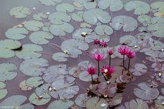 Hue, Vietnam   //   FOXINTHEPINE.COM Nymphaea Lotus, Southeast Asia, Adventure Travel, Hue, Vietnam, Ceramics, Colour, Pictures, Plants
