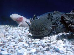 """Axolotl <3 I want my own """"Toothless""""."""