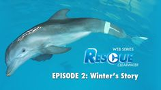 Go behind the scenes of Winter's rescue, her against-the-odds survival, the loss of her tail & how CMA and Hanger Clinic gave her a second chance at life! Watch Rescue-Clearwater, Ep. 2: Winter's Story NOW