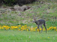 Brocard que j'ai pris pour un renard de loin..., l'Auberson, mai 2013