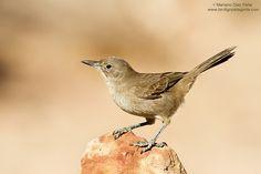 Birding Patagonia - Cacholote Pardo -