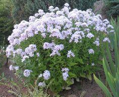 Campanula lactiflora 'Loddon Anna' – Ballyrobert Gardens