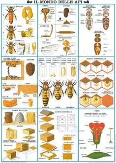~ The world of the Bees - die Welt der Bienen ~ Bee Hives Boxes, Bee Facts, Bee Hive Plans, Beekeeping For Beginners, Honey Bee Hives, Raising Bees, Bee House, Backyard Beekeeping, Bee Friendly