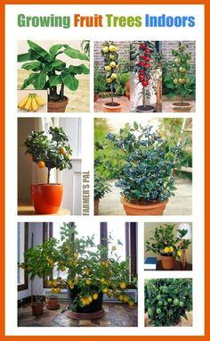 Indoor fruit trees